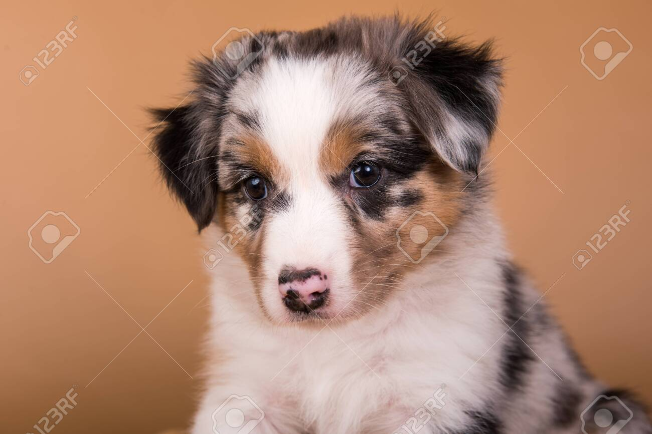 Red Merle Australian Shepherd Puppy Sitting In Front Of Light Stock Photo Picture And Royalty Free Image Image 147223124