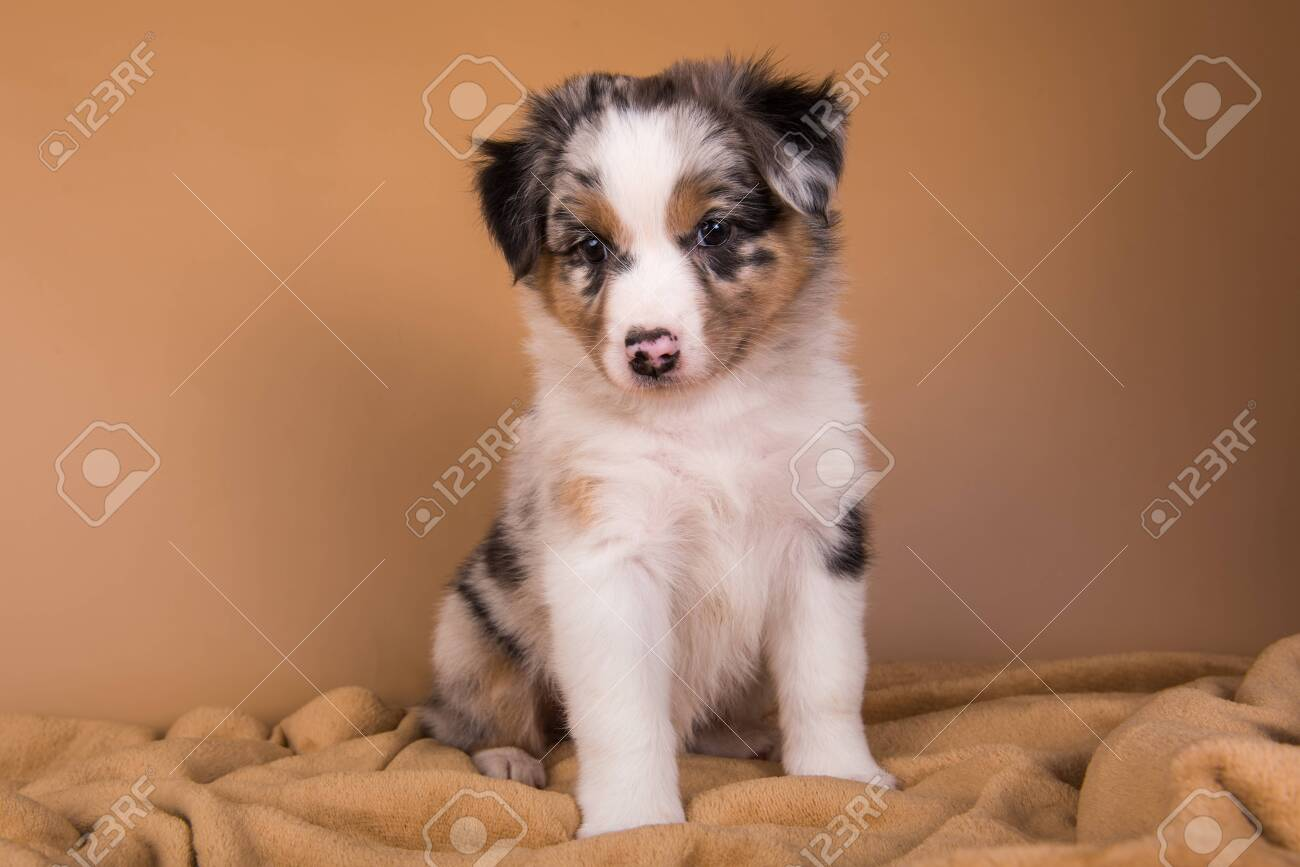 Red Merle Australian Shepherd Puppy With Copper Points Sitting Stock Photo Picture And Royalty Free Image Image 147223129