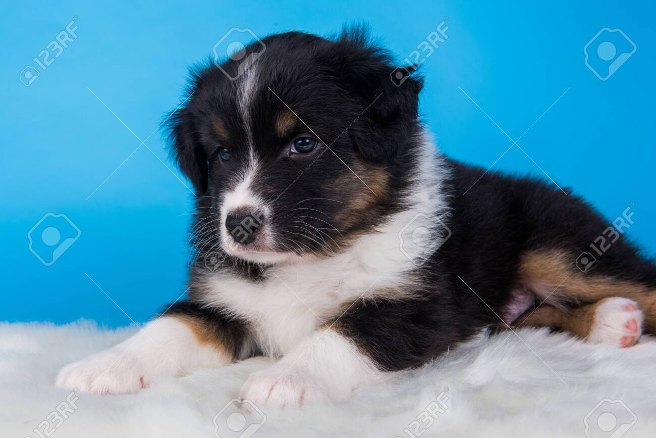 Australian Shepherd Puppy Portrait Dog Tri Color Black Brown Stock Photo Picture And Royalty Free Image Image 151122448