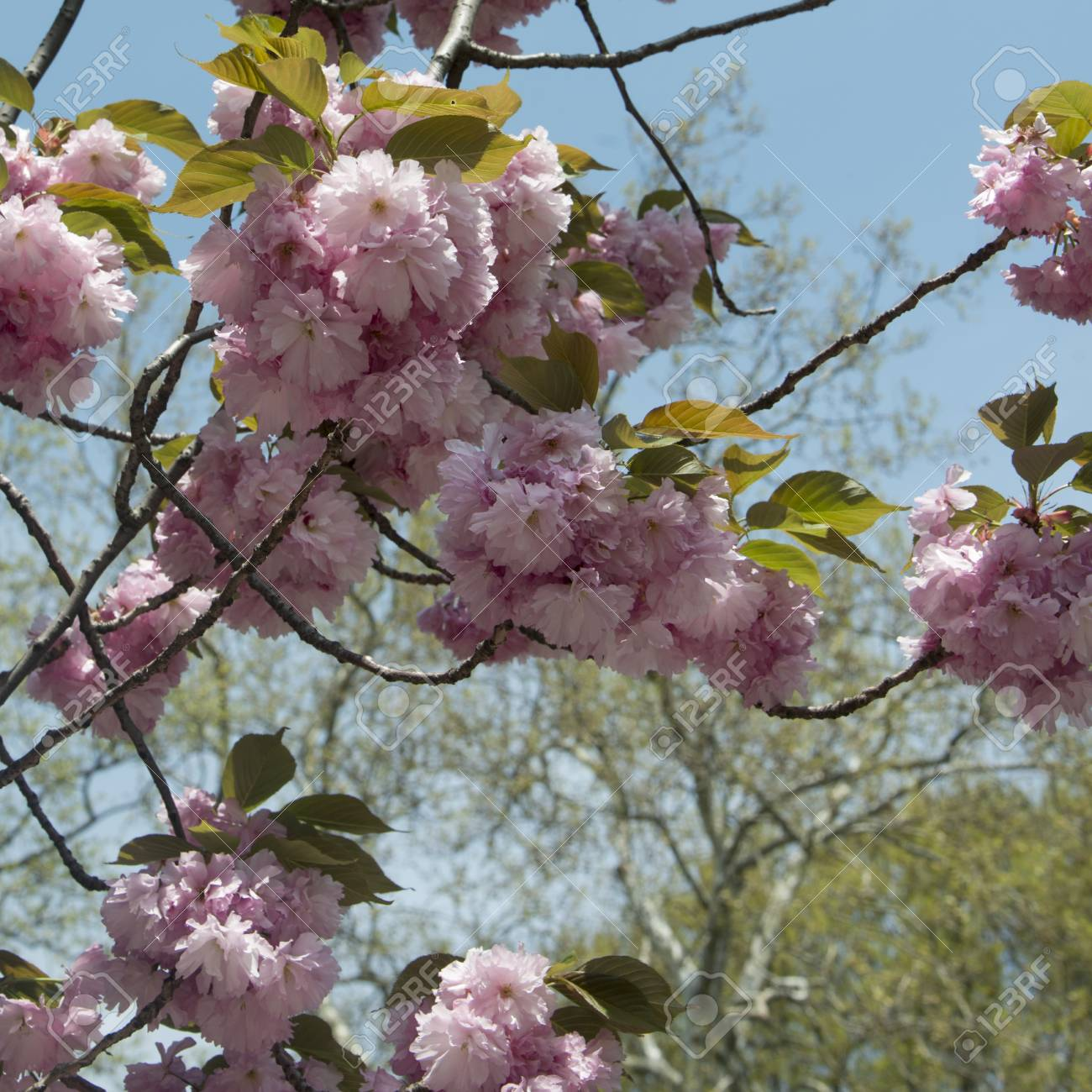 Cherry Blossom Tree In Central Park Manhattan New York City Stock Photo Picture And Royalty Free Image Image 97769134