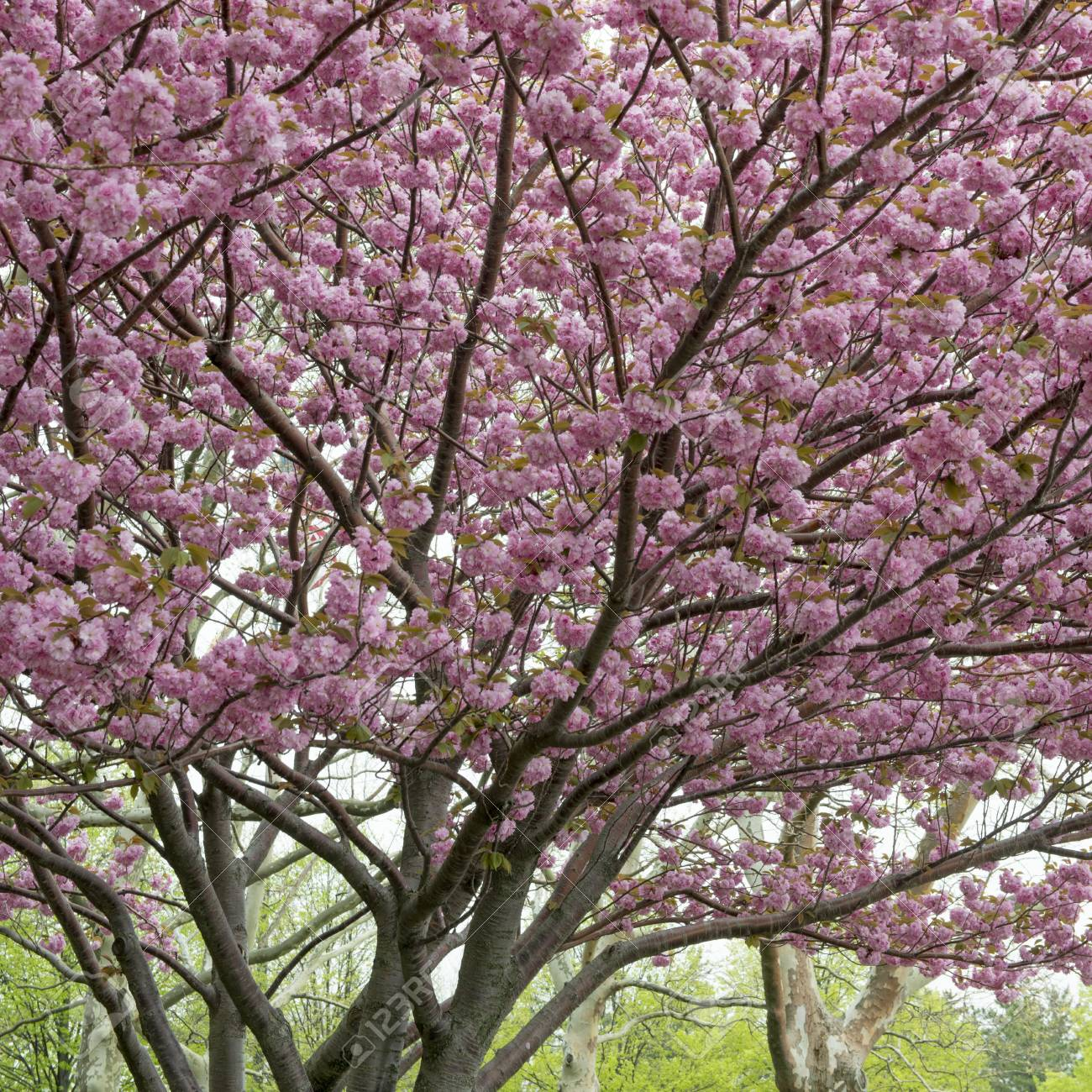 Cherry Blossom Tree Liberty Island Manhattan New York City Stock Photo Picture And Royalty Free Image Image 97733261