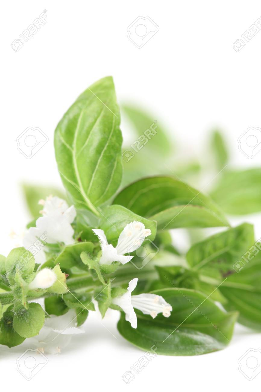 Close-up of fresh blooming basil isolated on white background Stock Photo - 15212798