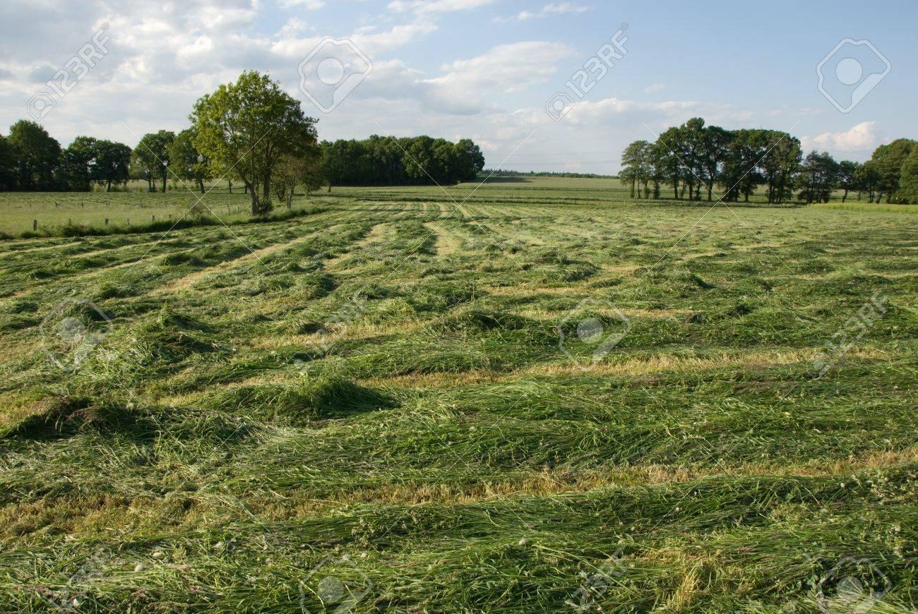 Mown grass in haymaking season Standard-Bild - 9886305