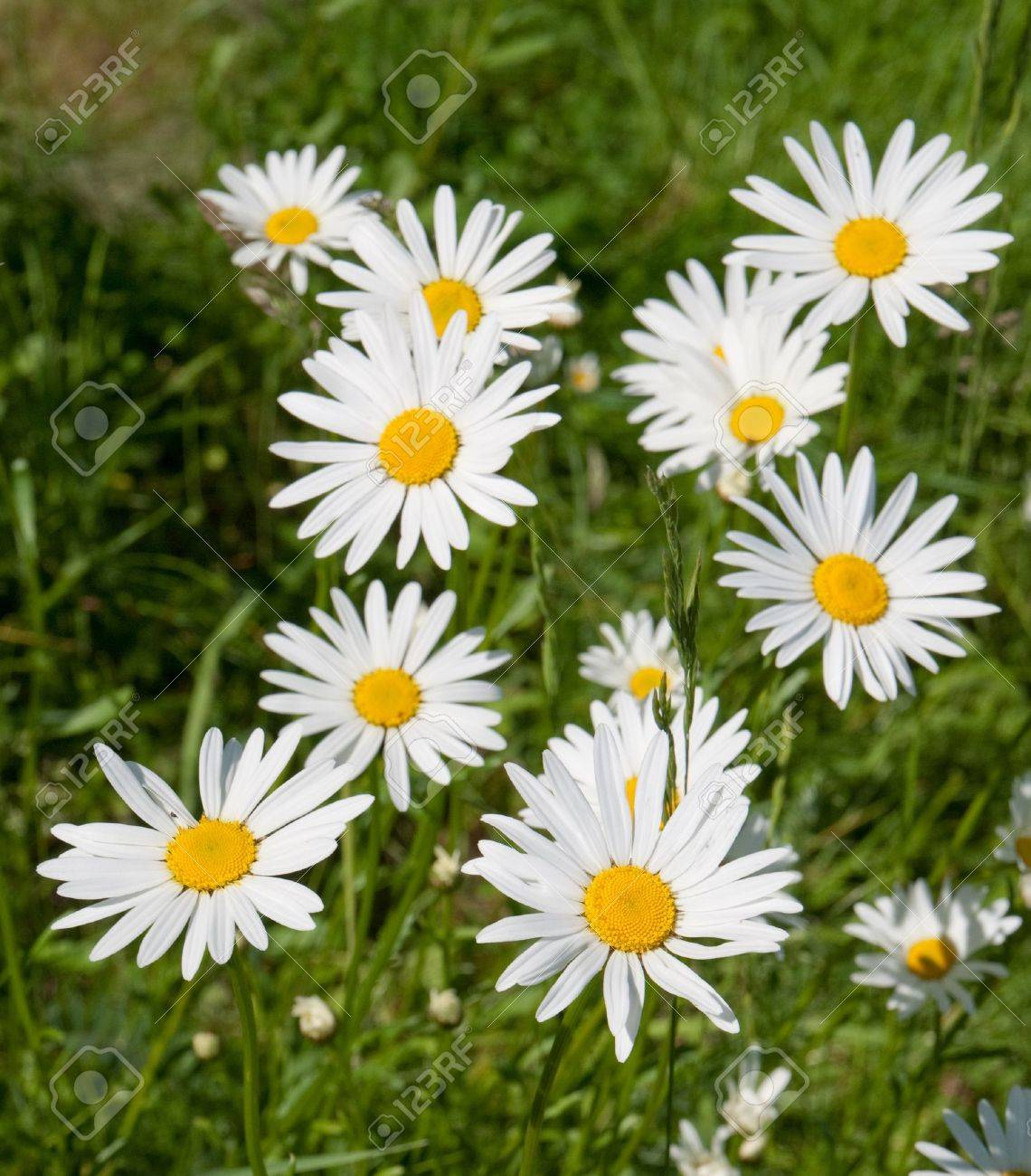 Meadow with marguerites in spring, Leucanthemum vulgare Stock Photo - 9886463