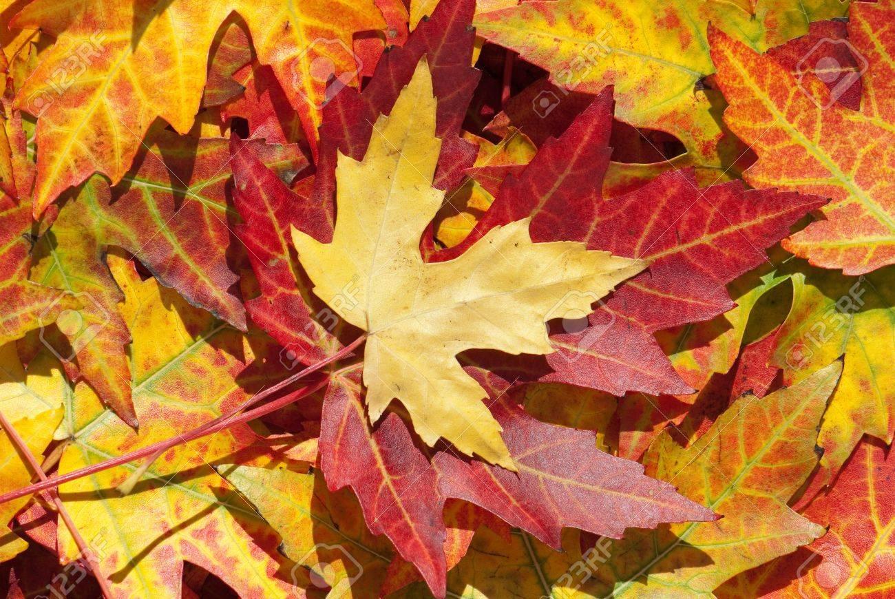 Maple leaves in autumn, Acer platanoides Standard-Bild - 9886426