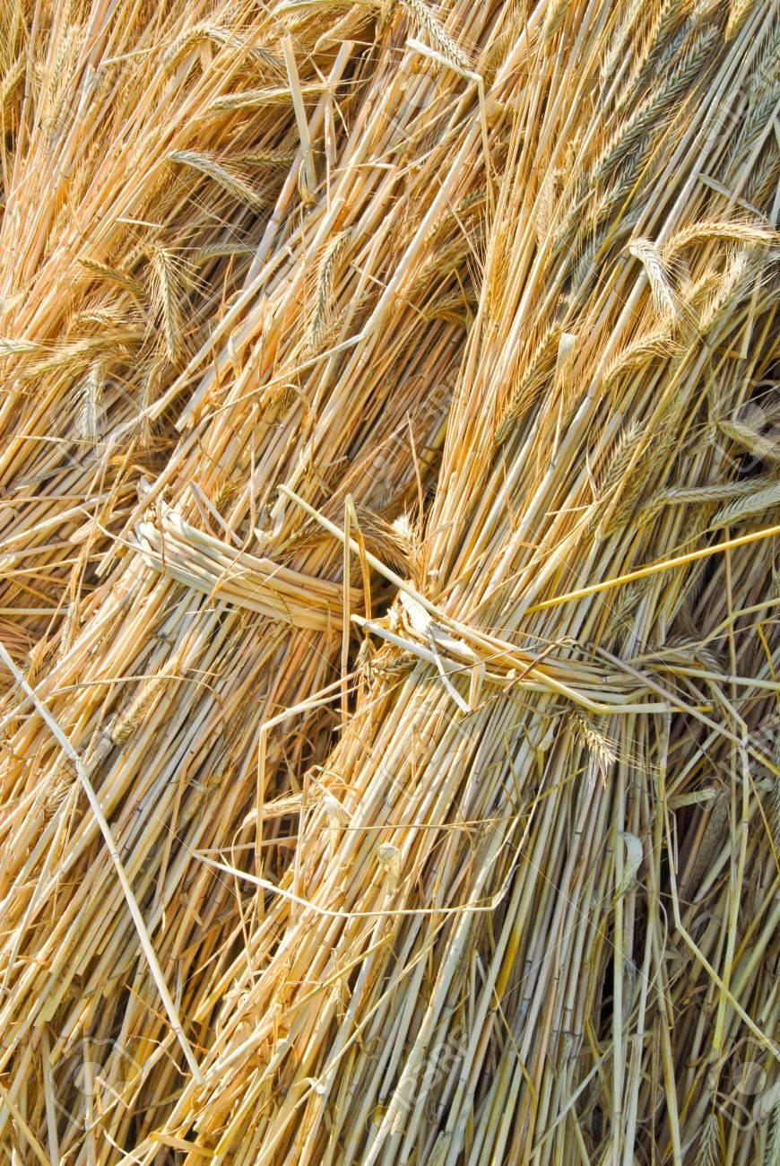Bails of straw, Secale cereale Standard-Bild - 9886422