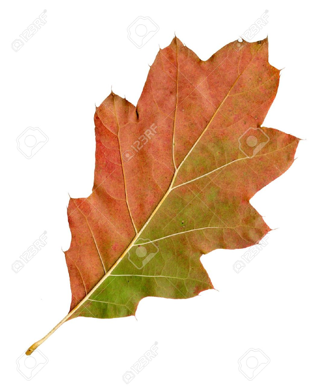 Autumn leaves of a red oak, under-surface, quercus rubra Standard-Bild - 9886439