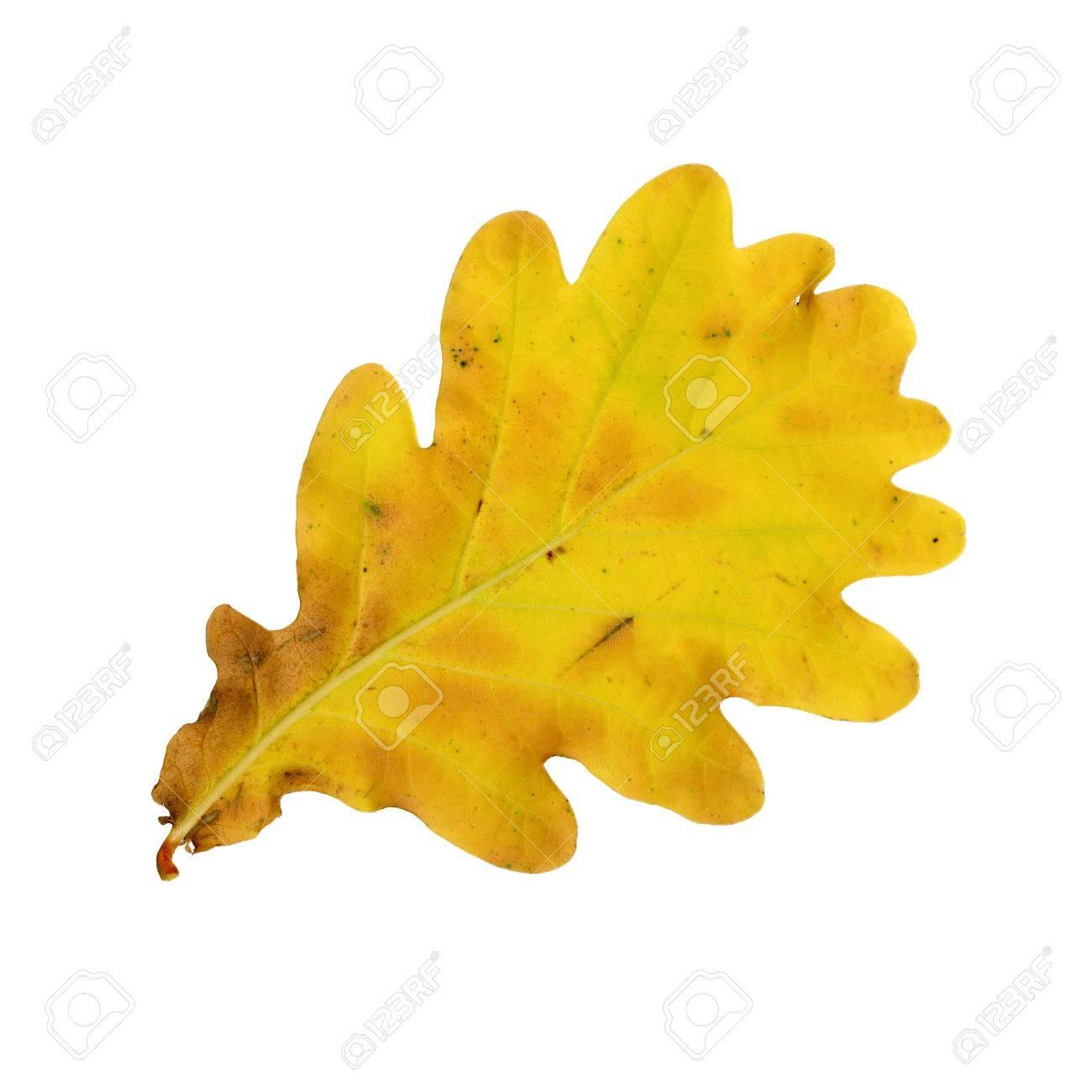 Autumn leaves of an oak, under-surface, quercus rubor Standard-Bild - 9886343