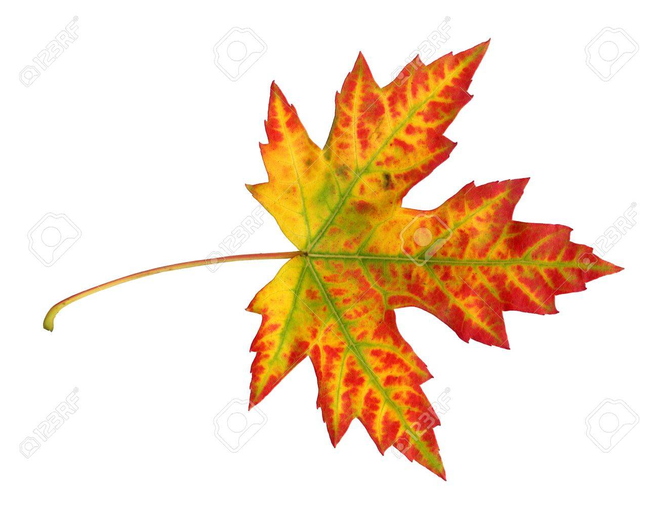 Maple leaf in autumn, Acer platanoides, top side of the leaf surface, isolated Stock Photo - 9886450