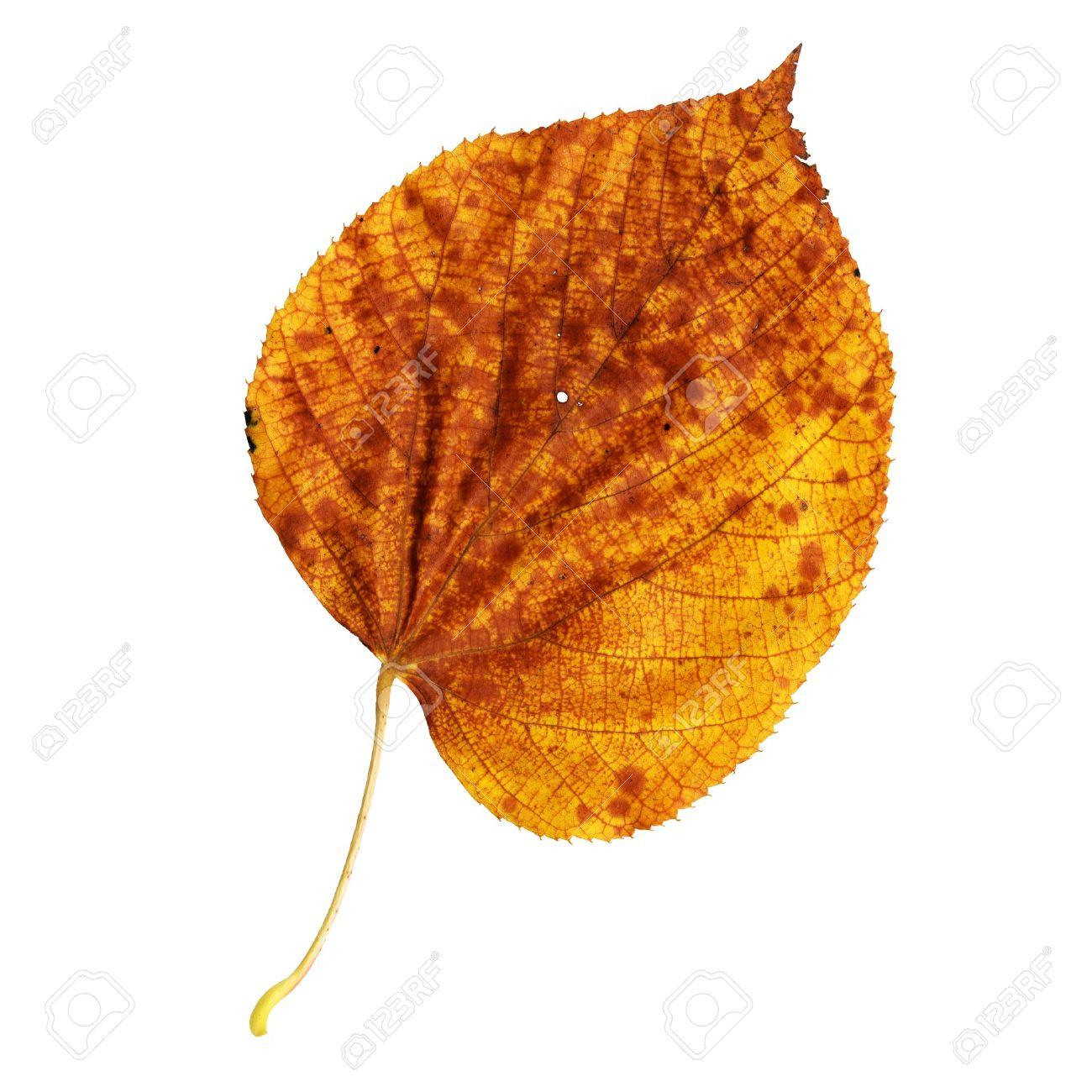 Autumn leaf of large-leaved linden, top surface, Tilia platyphyllos Standard-Bild - 10019125