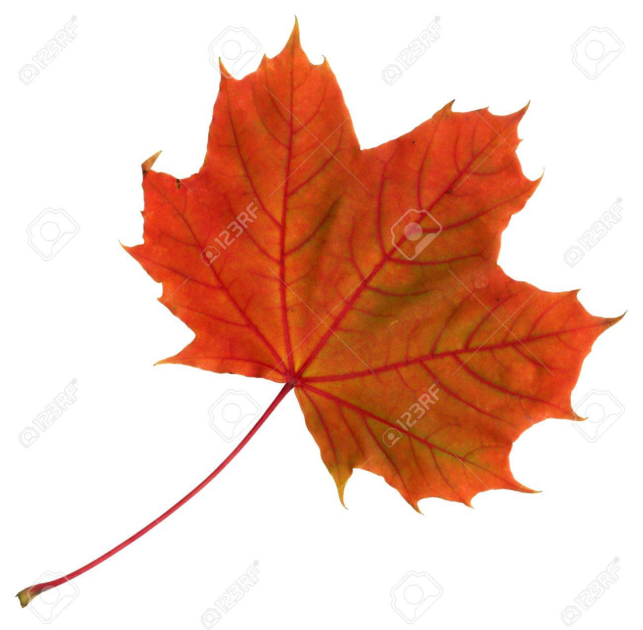 Upper surface of a maple leaf in autumn, Acer platanoides, isolated Standard-Bild - 10019120