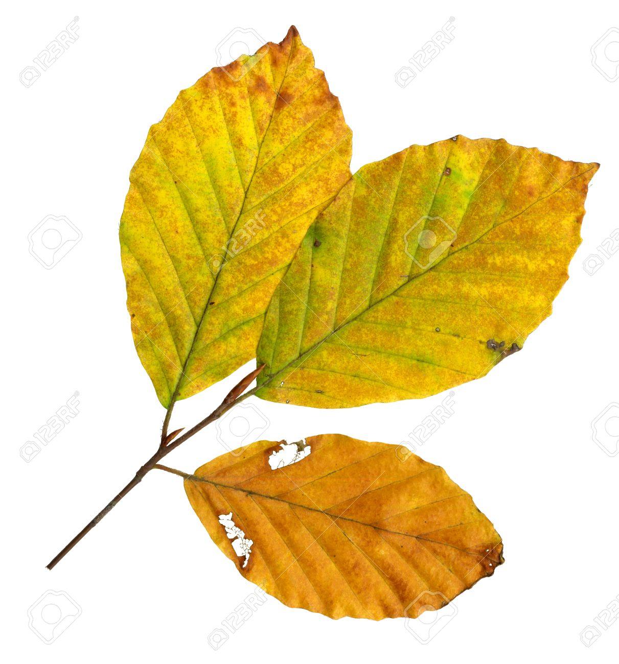 Autumn leaves of a copper beech, top surface, Fagus sylvatica Standard-Bild - 10019003
