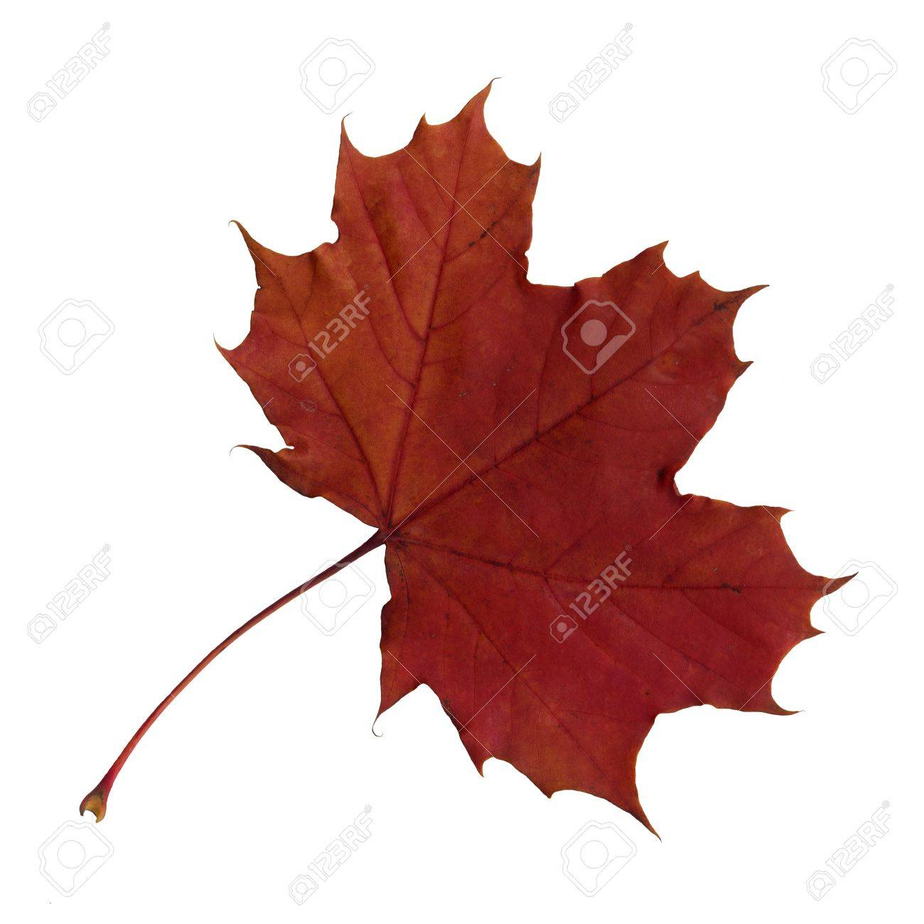 Upper surface of a maple leaf in autumn, Acer platanoides, isolated Standard-Bild - 10019001