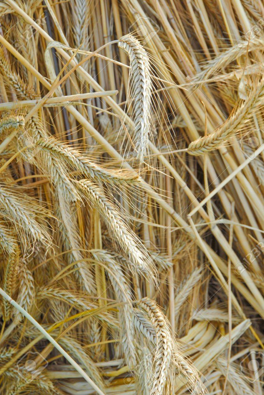 Bails of straw, Secale cereale Stock Photo - 10019018