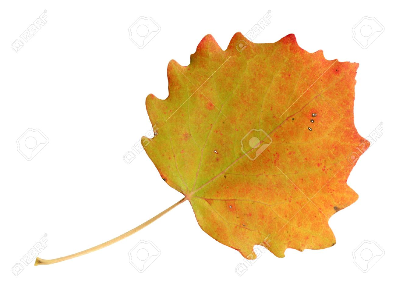 Upper surface of a leaf of the Common Aspen in autumn, Populus tremula Standard-Bild - 10019024