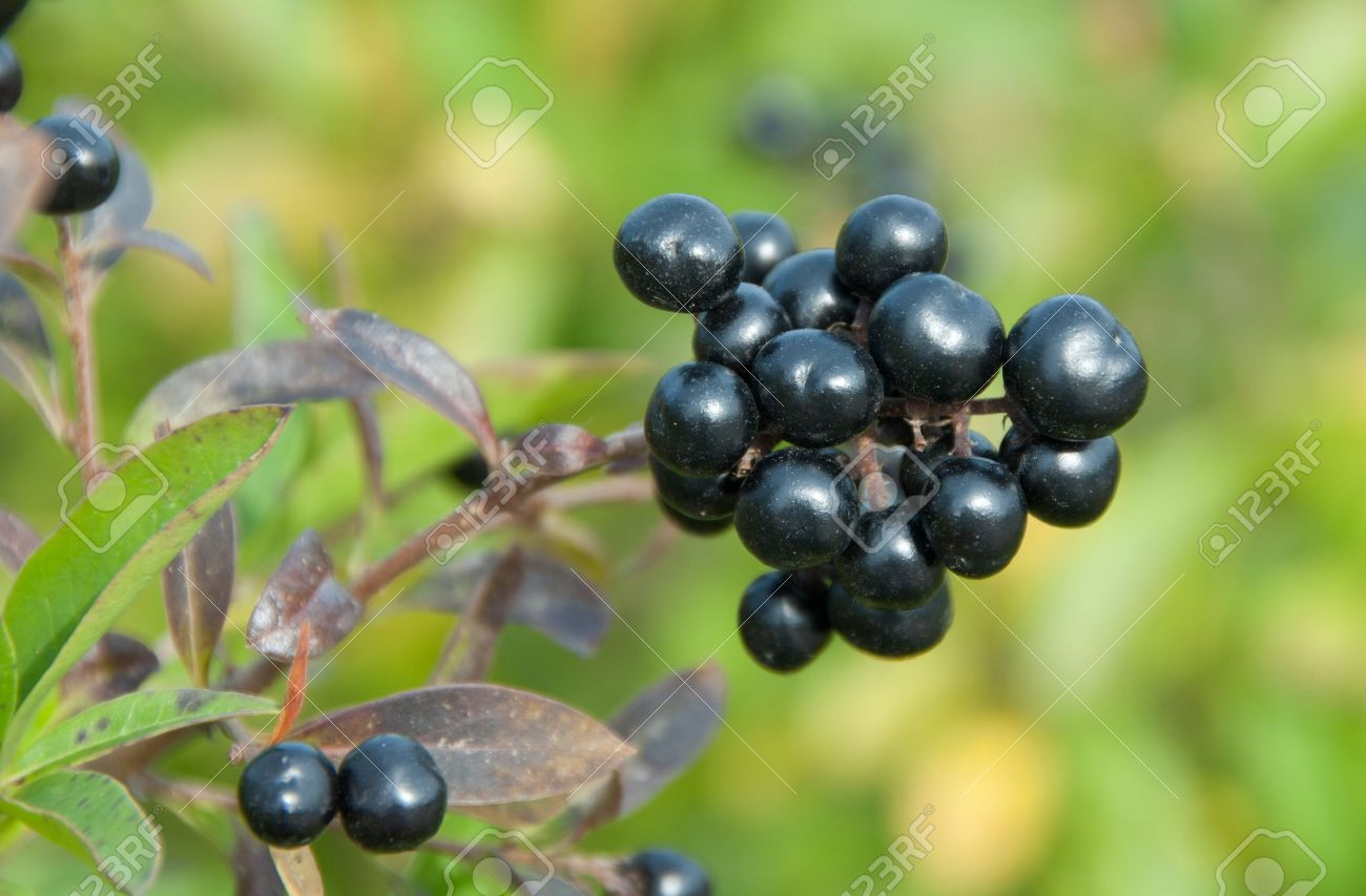 Deep blue and glossy berries on a shrub of the Wild Privet, Ligustrum vulgare, in autumn Standard-Bild - 10696912