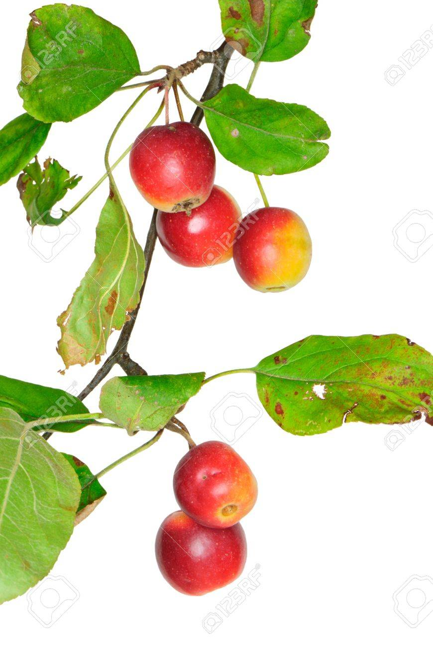 Twig with crabapples, Malus, isolated Standard-Bild - 10816375