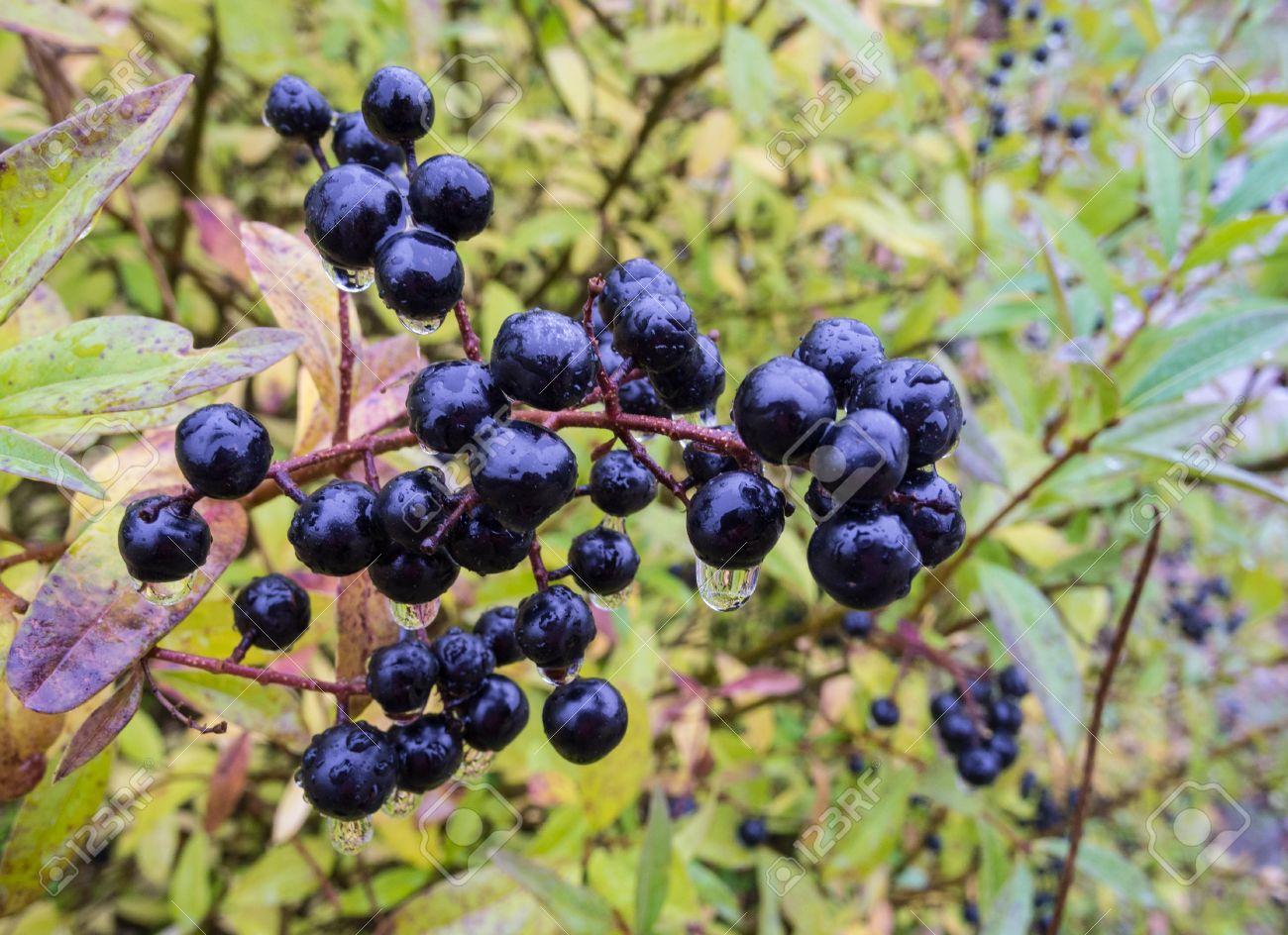 Deep blue und glänzend Beeren auf einem Strauch der wilden Liguster in regen, Ligustrum vulgare, im Herbst Standard-Bild - 15659332