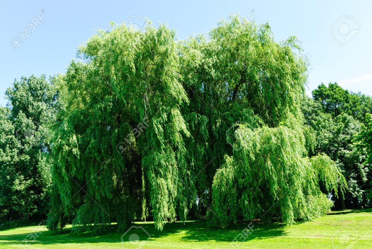 Weeping willows, Salix alba Tristis, in summer Standard-Bild - 20833543