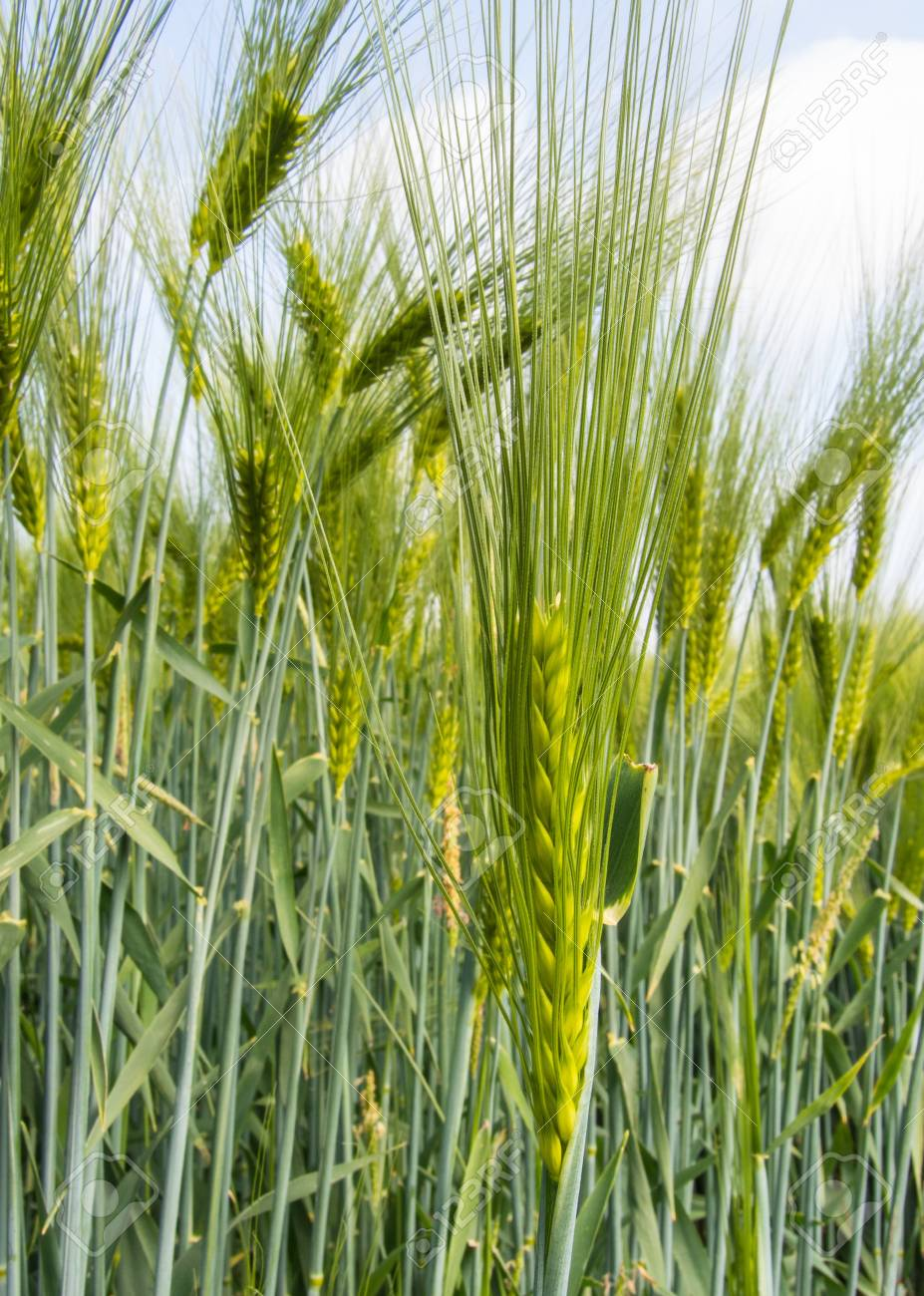 Barley Ear With Awns On A Field Stock Photo