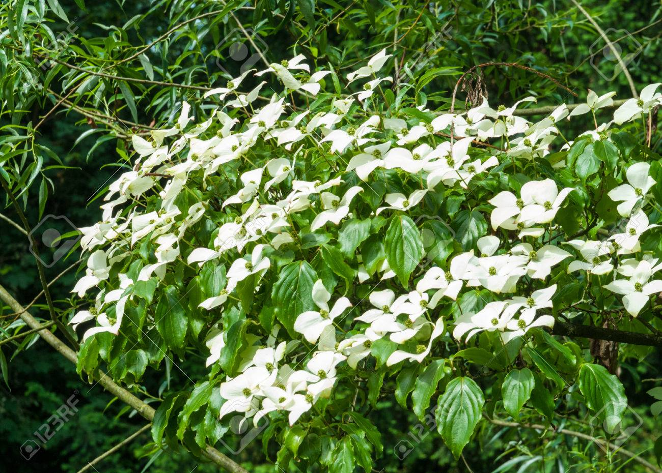 Chinese Dogwood, Cornus kousa, with inflorescences Standard-Bild - 29296251