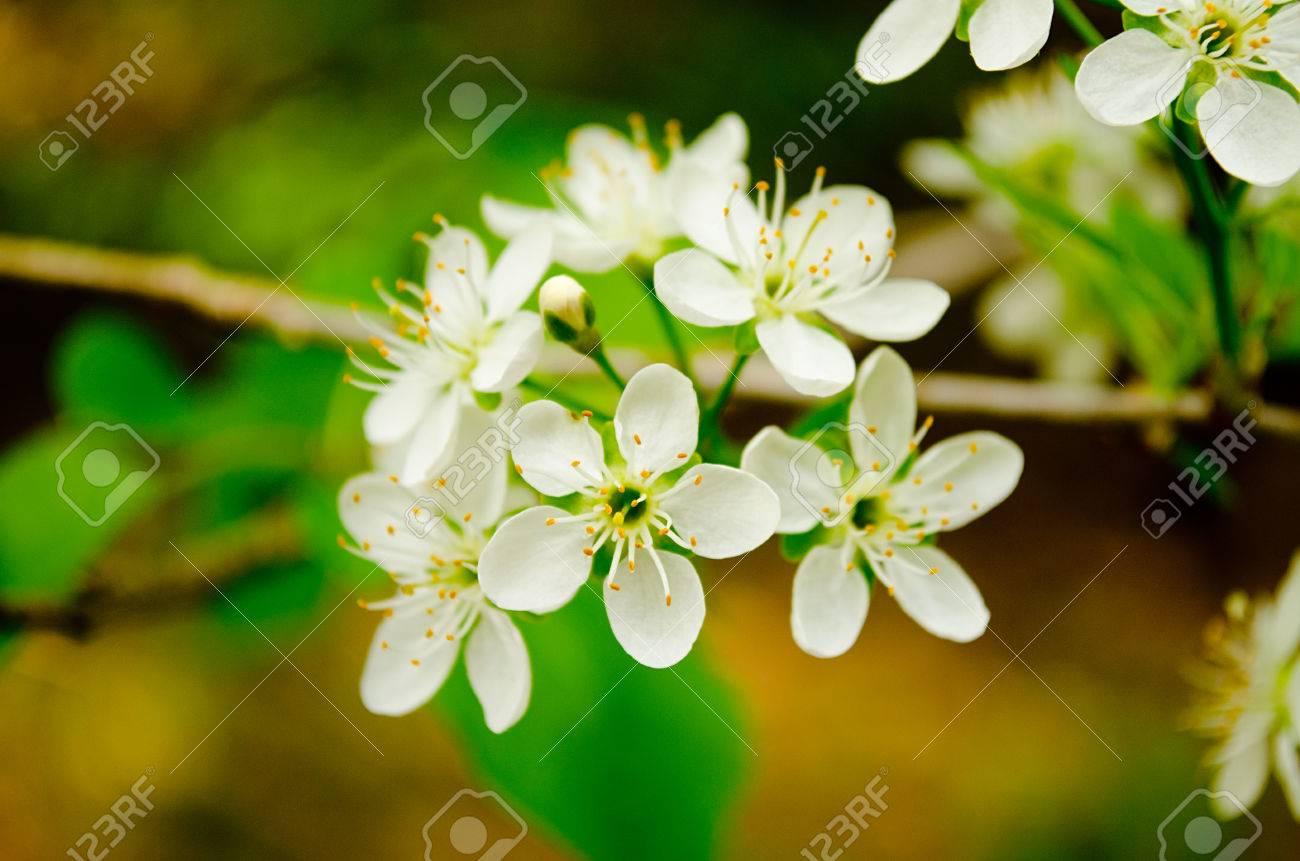 Cherry Flowers In Bloom Flowers Bloom In Spring Season Stock Photo