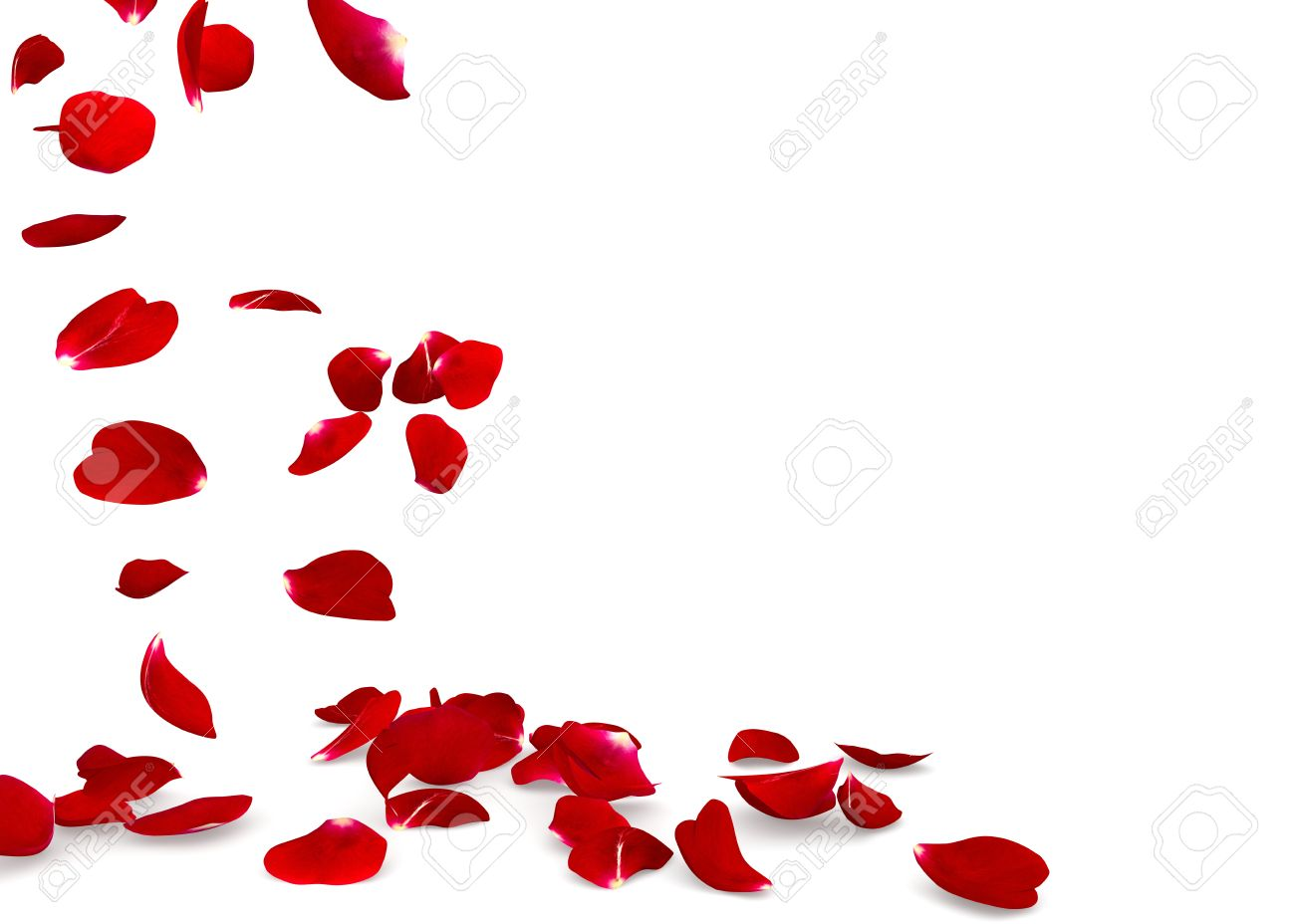 rose petals fall to the floor isolated background 3d render stock