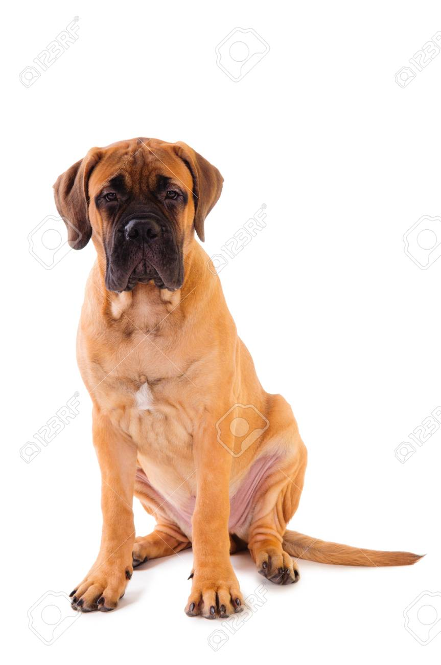 little puppy bullmastiff sitting on a white background, isolated Stock Photo - 16836653