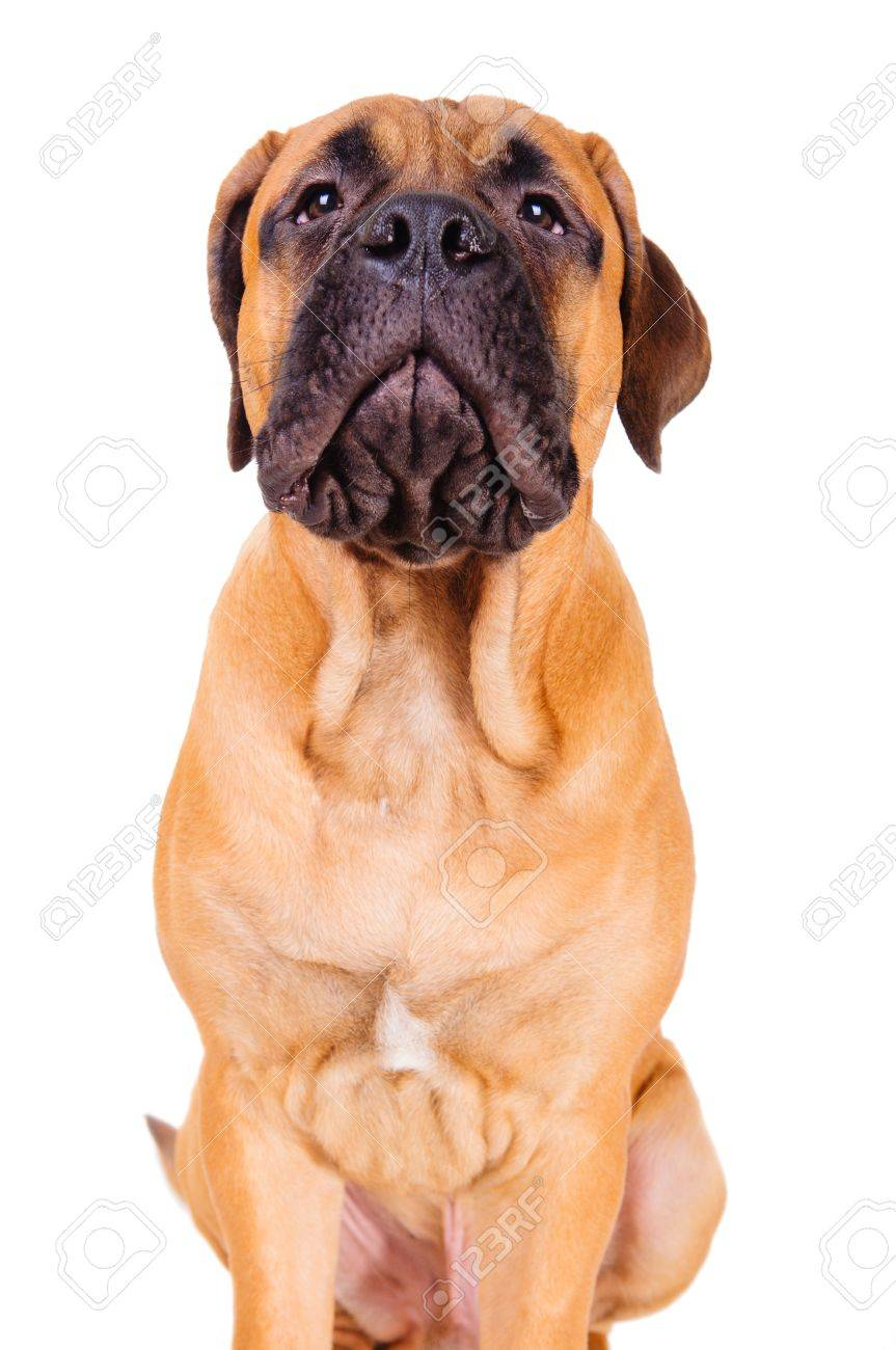 bullmastiff puppy barking loudly. face close up. dog isolated on white background Stock Photo - 17467640
