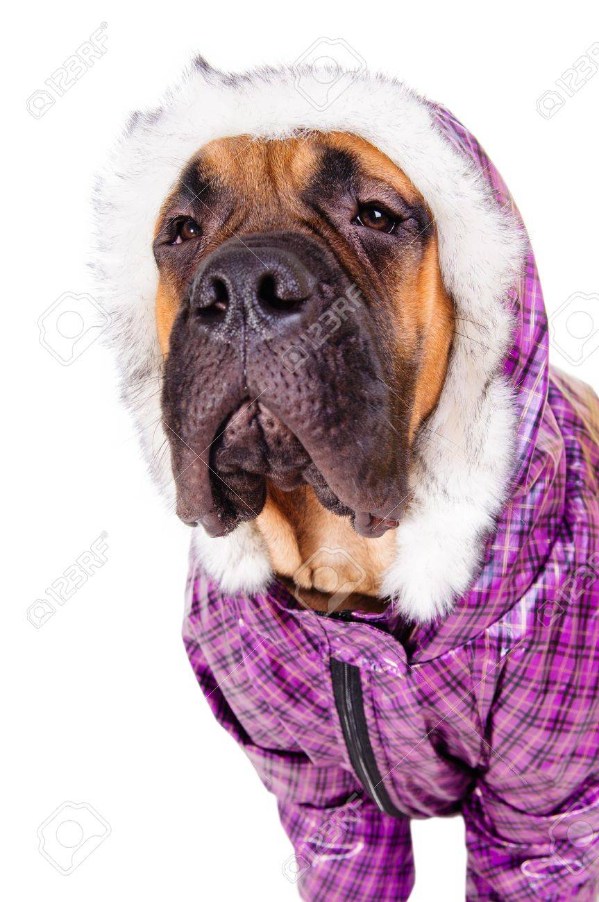 bullmastiff puppy  dog dressed in winter warm clothes  close-up portrait  isolated on white background Stock Photo - 17467669