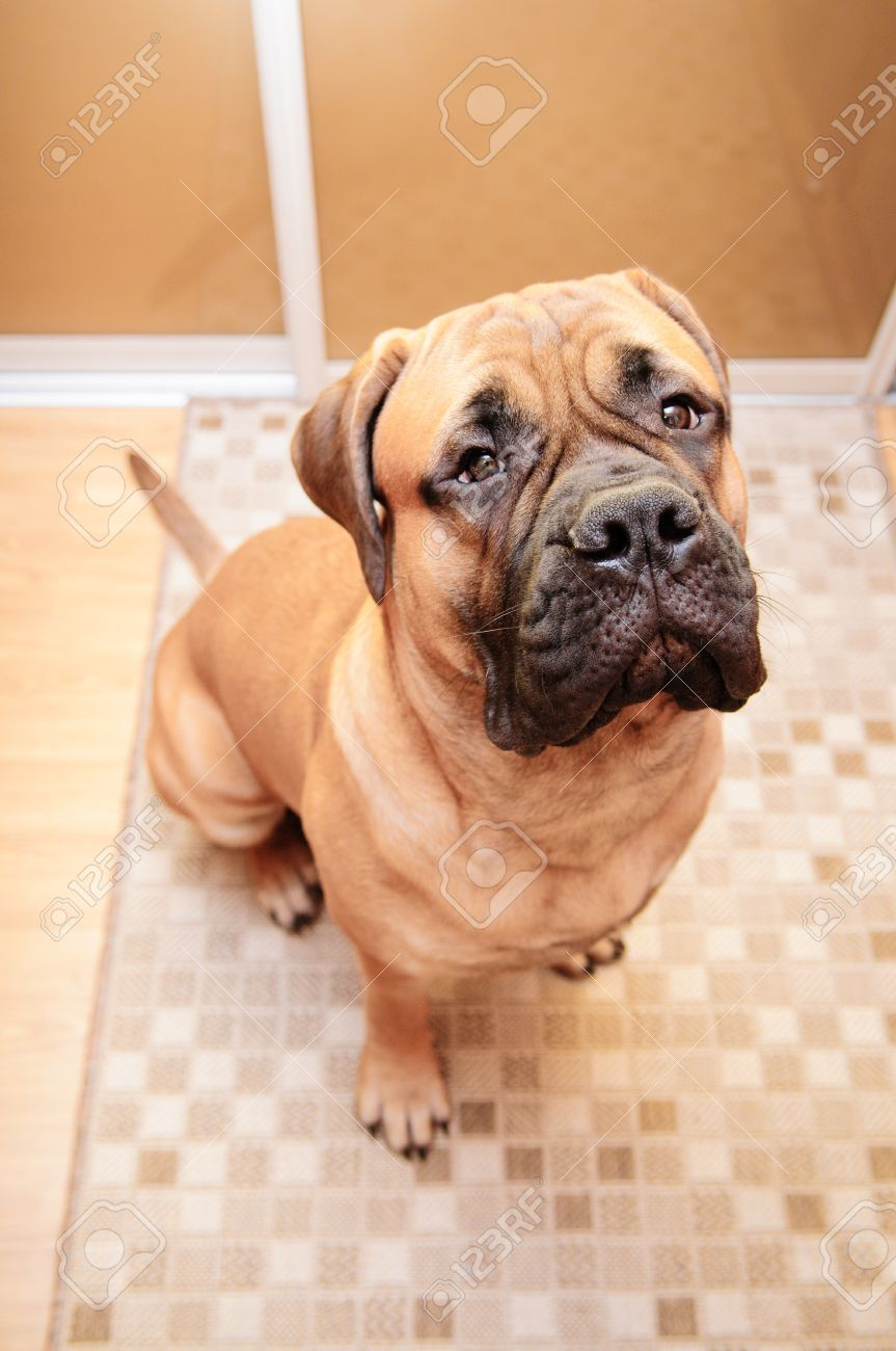 junior bullmastiff dog sitting in the house. 8 months age. camera view from above Stock Photo - 18545769