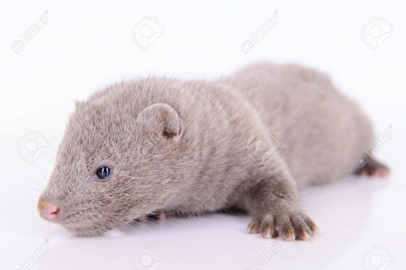Small Gray Animal Mink On A White Background Stock Photo Picture And Royalty Free Image Image 20451924