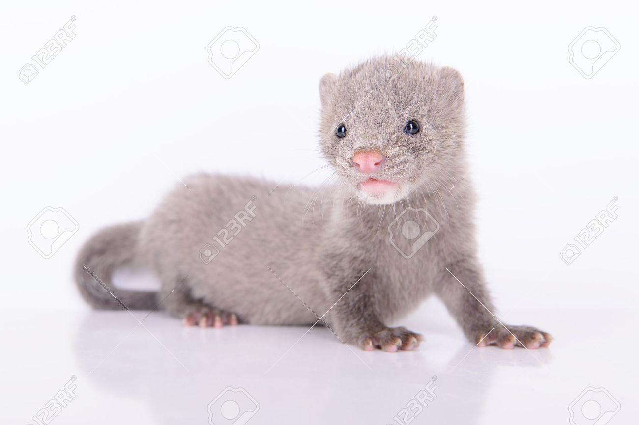 Small Gray Animal Mink On White Background Stock Photo Picture And Royalty Free Image Image 20451933