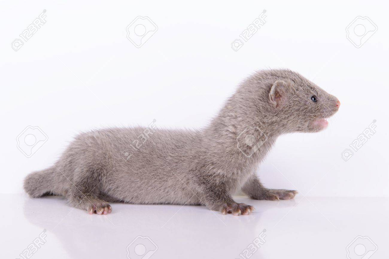 Small Gray Animal Mink On A White Background Stock Photo Picture And Royalty Free Image Image 20451920
