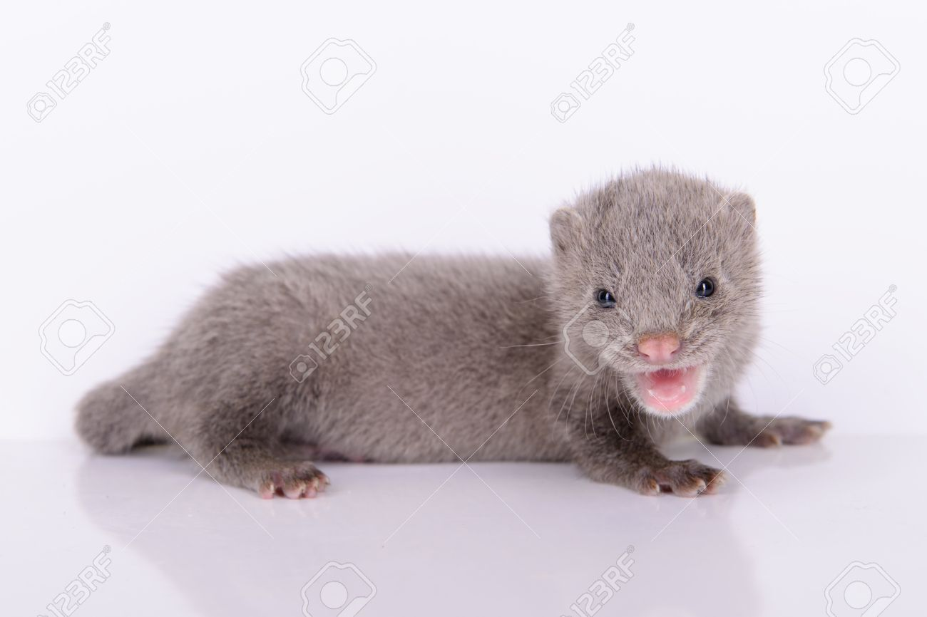 Small Gray Animal Mink On A White Background Stock Photo Picture And Royalty Free Image Image 20456213
