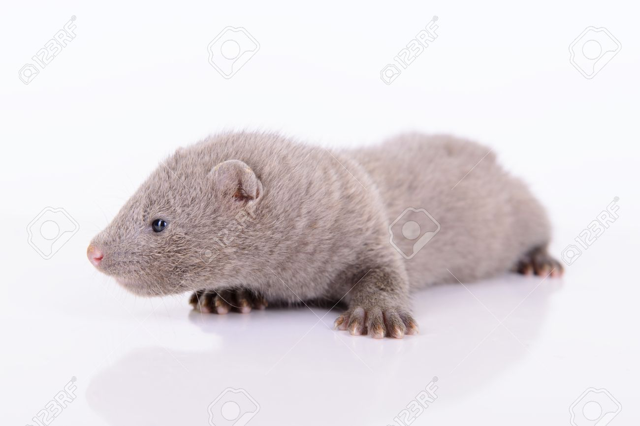 Small Gray Animal Mink On White Background Stock Photo Picture And Royalty Free Image Image 20635296