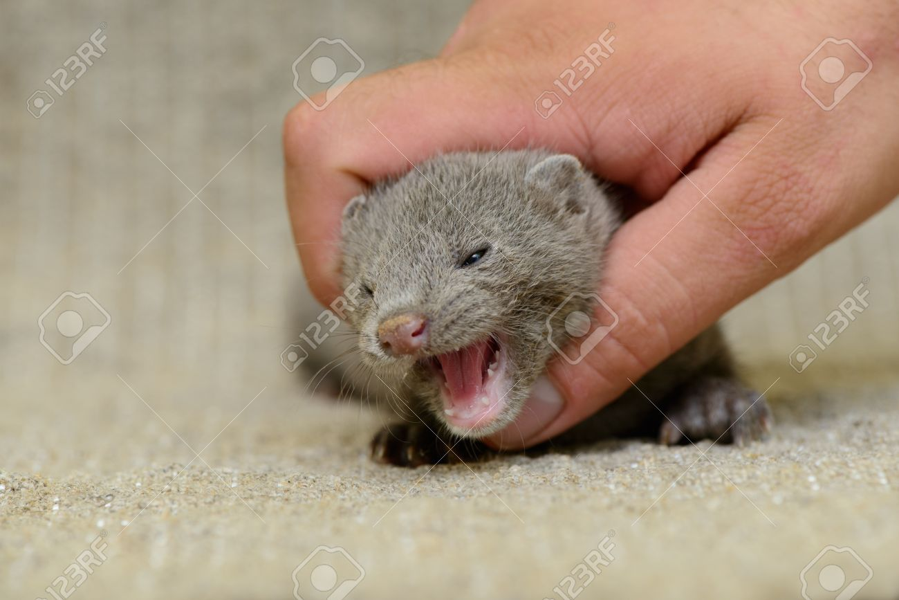 Small Gray Animal Mink On A Human Hand Stock Photo Picture And Royalty Free Image Image 20635258