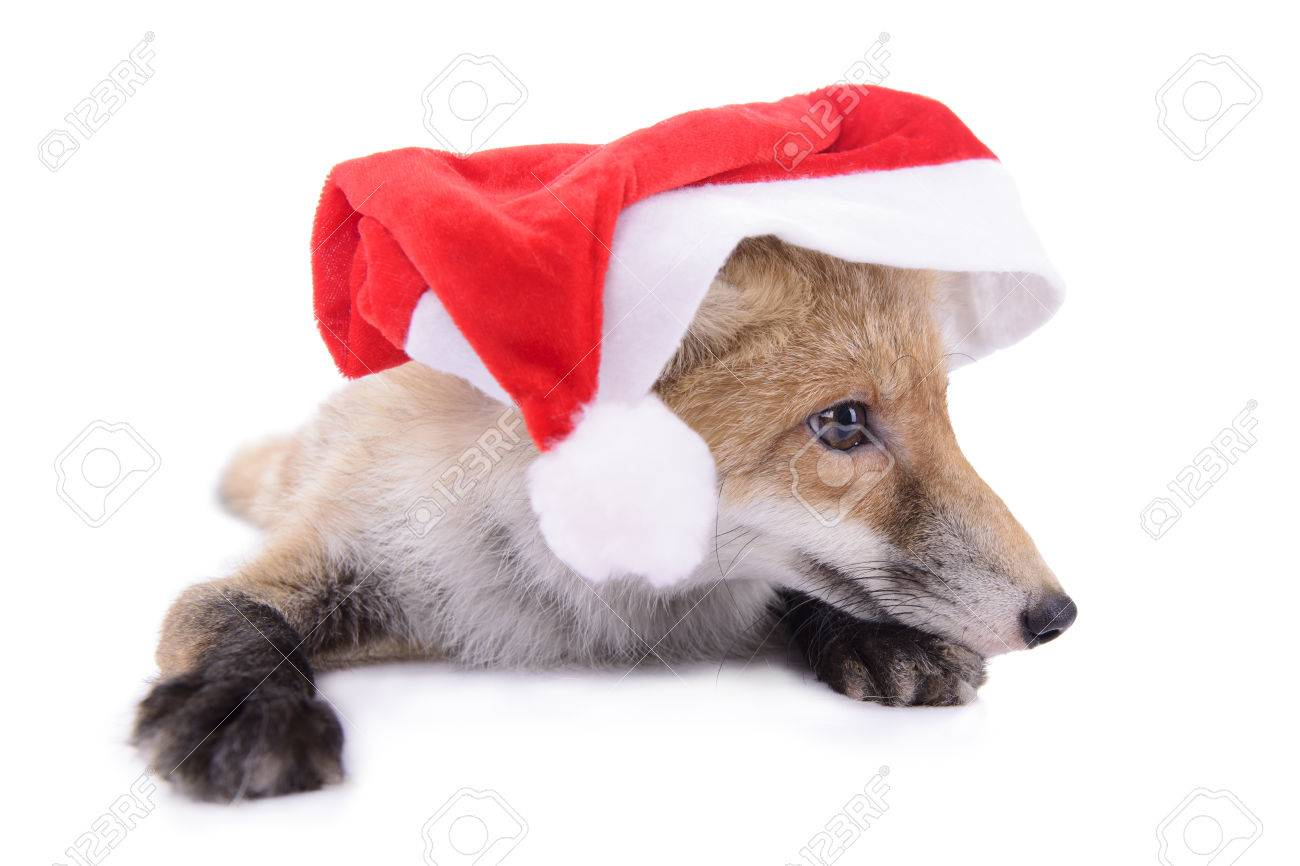 Fox with a hat new year or christmas animal isolated on white - Red Fox With A Hat New Year Or Christmas Animal Isolated On White Background