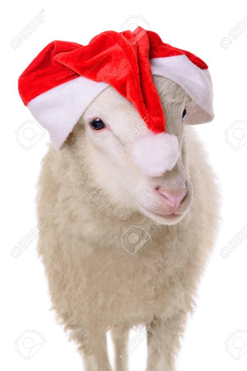 Schafe In Weihnachten Kleidung. Tier Isoliert Auf Weißem Hintergrund ...