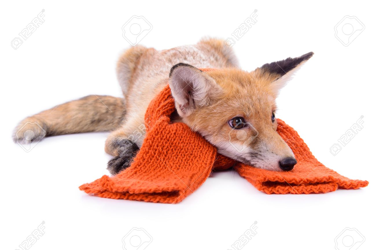 Red Fox With A Scarf. New Year Or Christmas. Animal Isolated ...