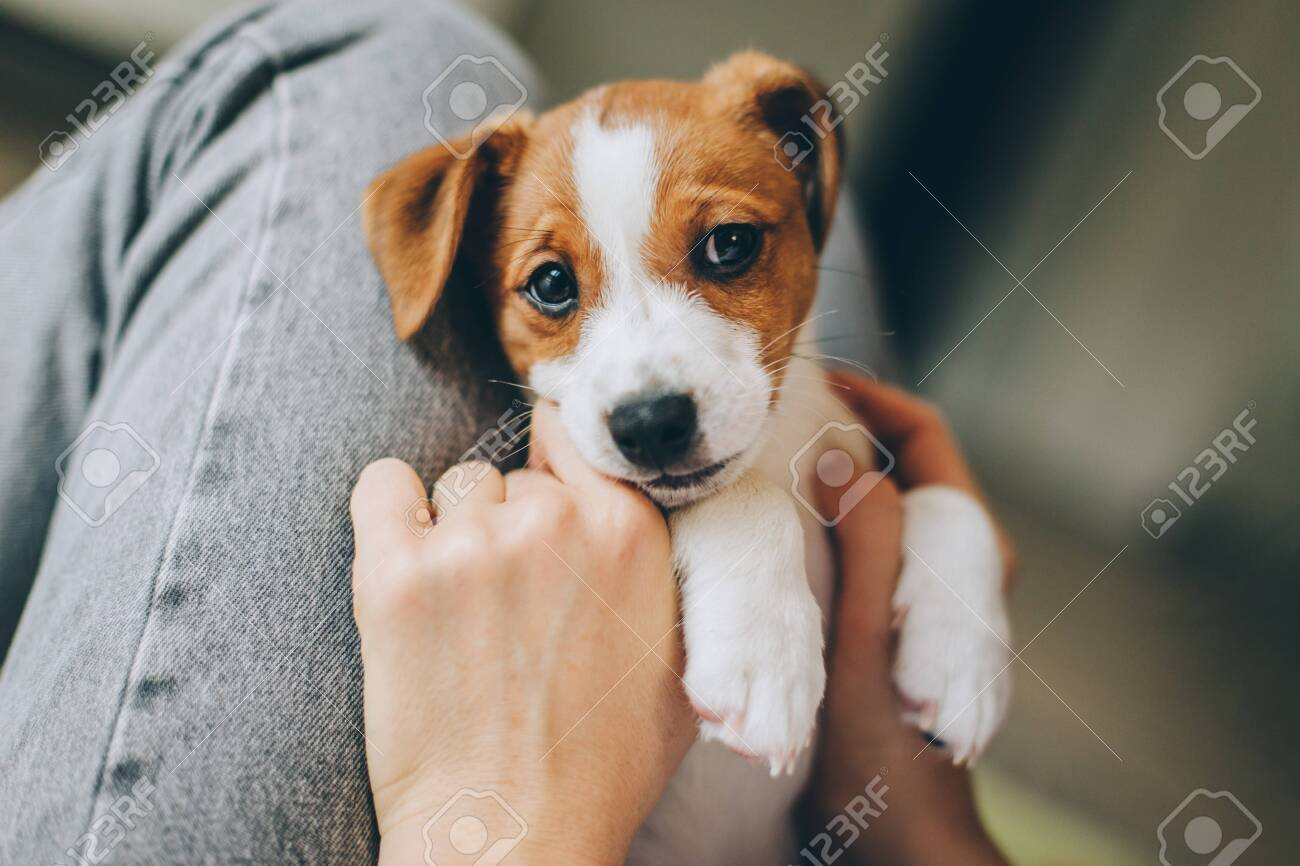 Adorable Puppy Jack Russell Terrier In The Owner S Hands Portrait Stock Photo Picture And Royalty Free Image Image 140641709