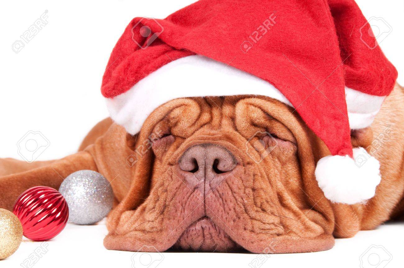 Asleep dogue de bordeaux waiting for Christmas with Christmas decorations Stock Photo - 6042749
