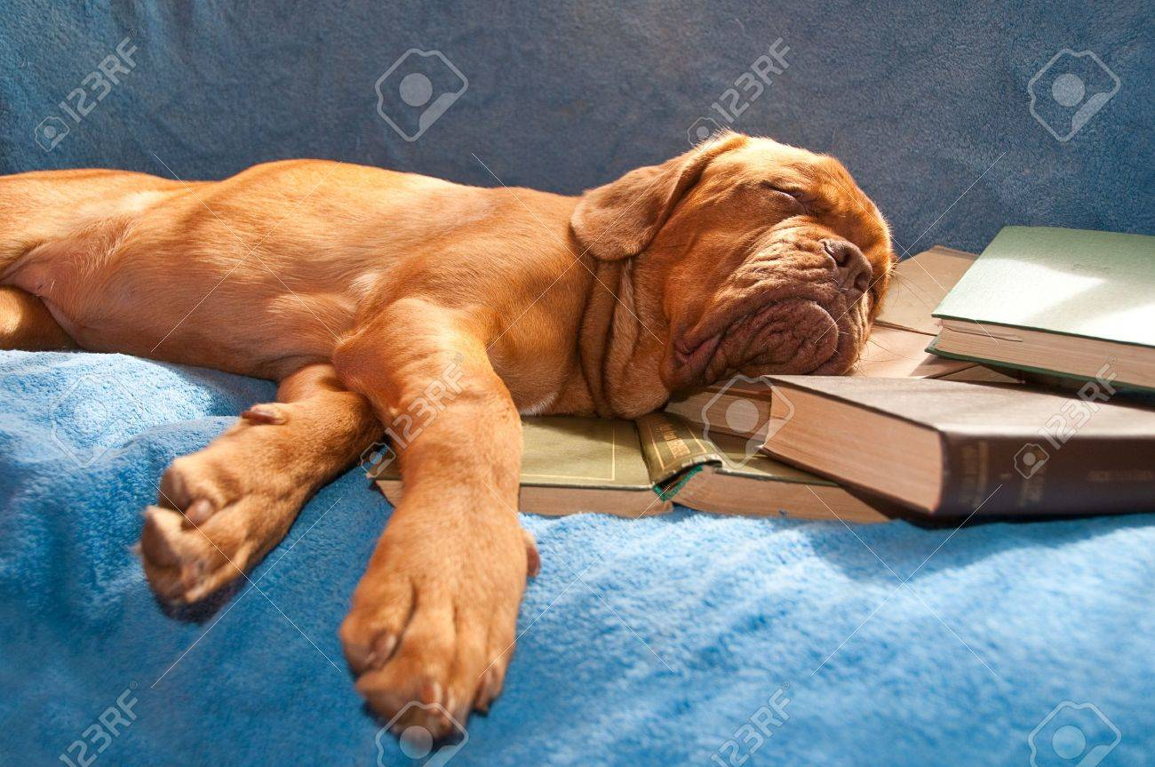 dogue de bordeaux sleeping in a sunny couch over a pile of books Stock Photo - 6992316