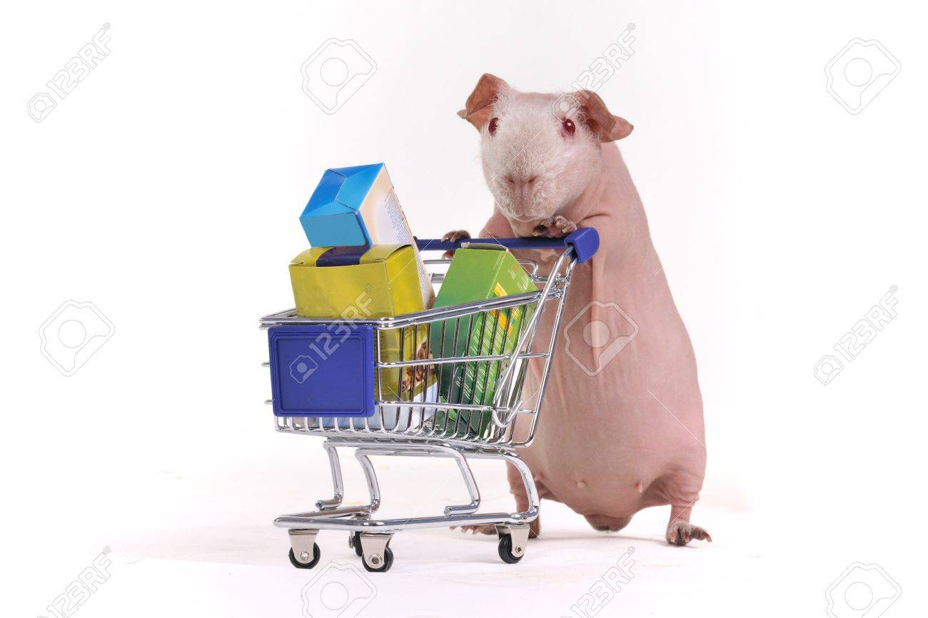 Guinea Pig has purchased some stuff in a supermarket Stock Photo - 7413769