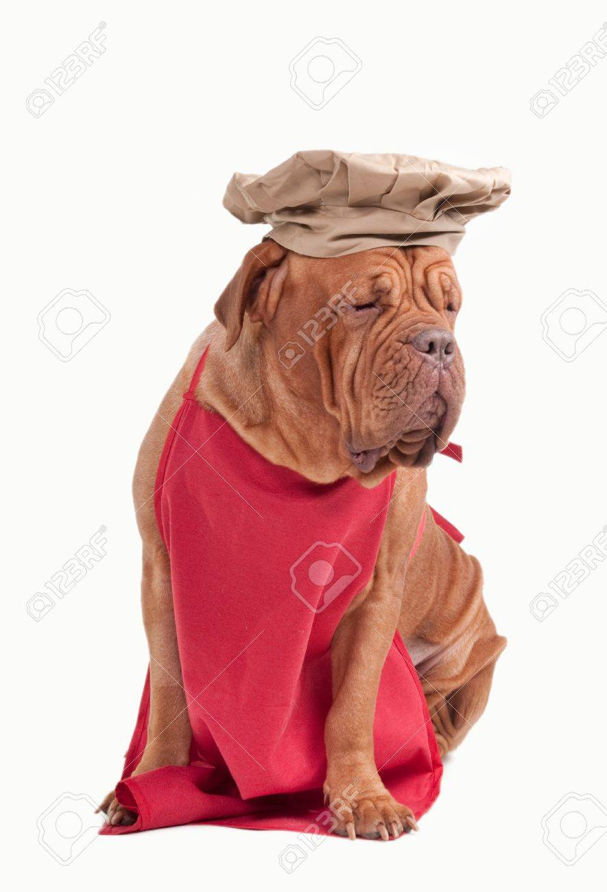 White apron and hat - Stock Photo Tired Italian Chef Dogue De Bordeaux In Apron And Hat Isolated On White Background