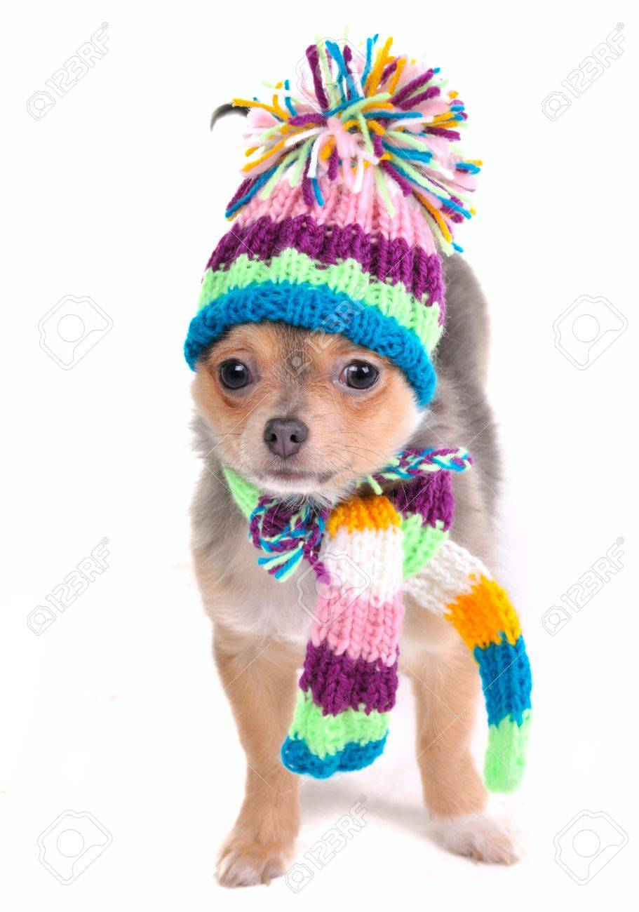 Puppy Dressed For Cold Weather Isolated On White. Chihuahua With Scarf and Hat Looking Aside Stock Photo - 8926739