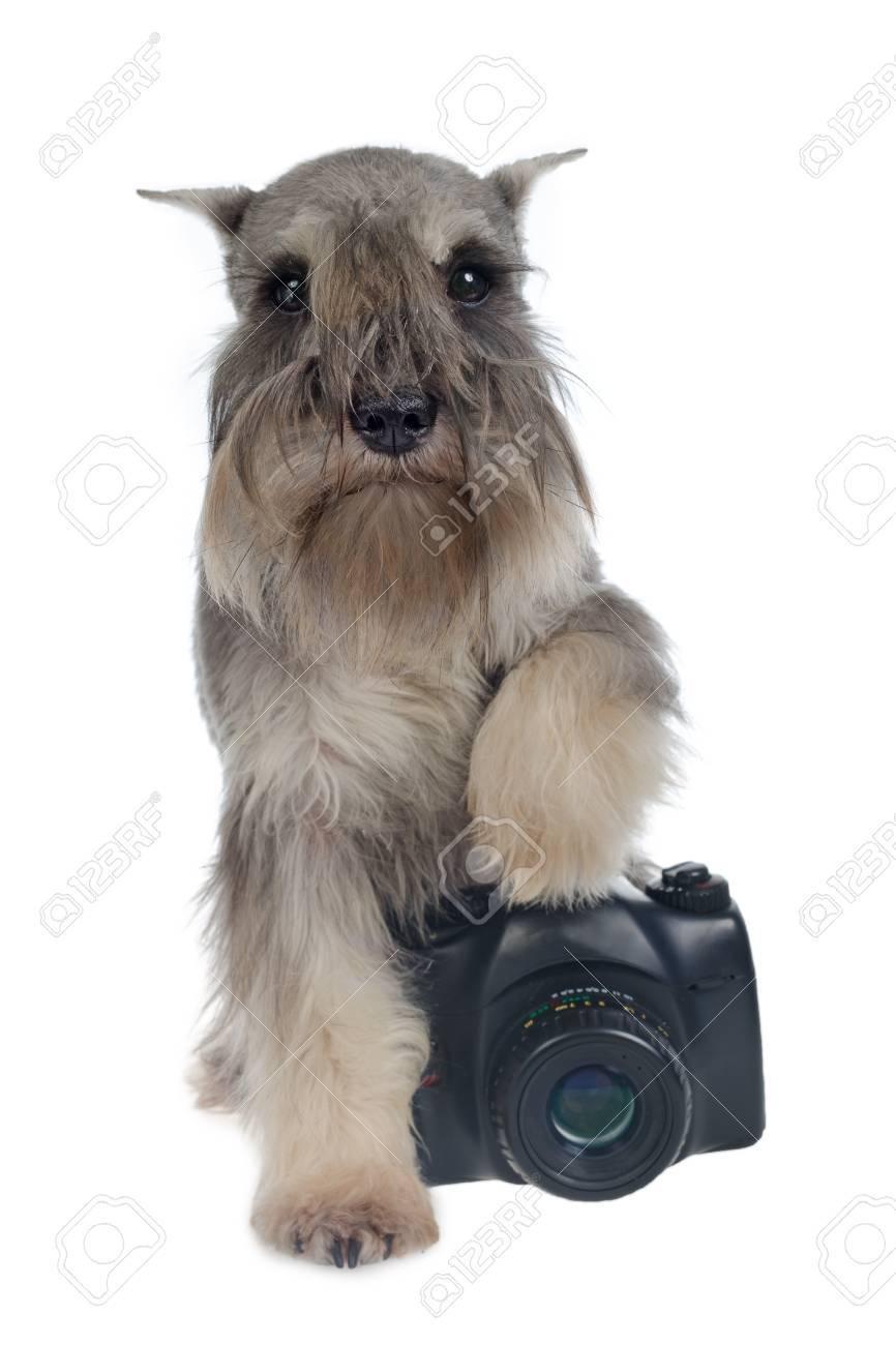Zwergschnauzer dog with a digital photo camera Stock Photo - 11519536