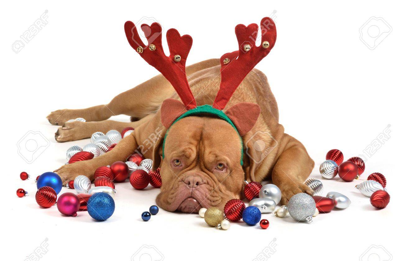 Reindeer dog with Christmas baubles isolated Stock Photo - 11519599