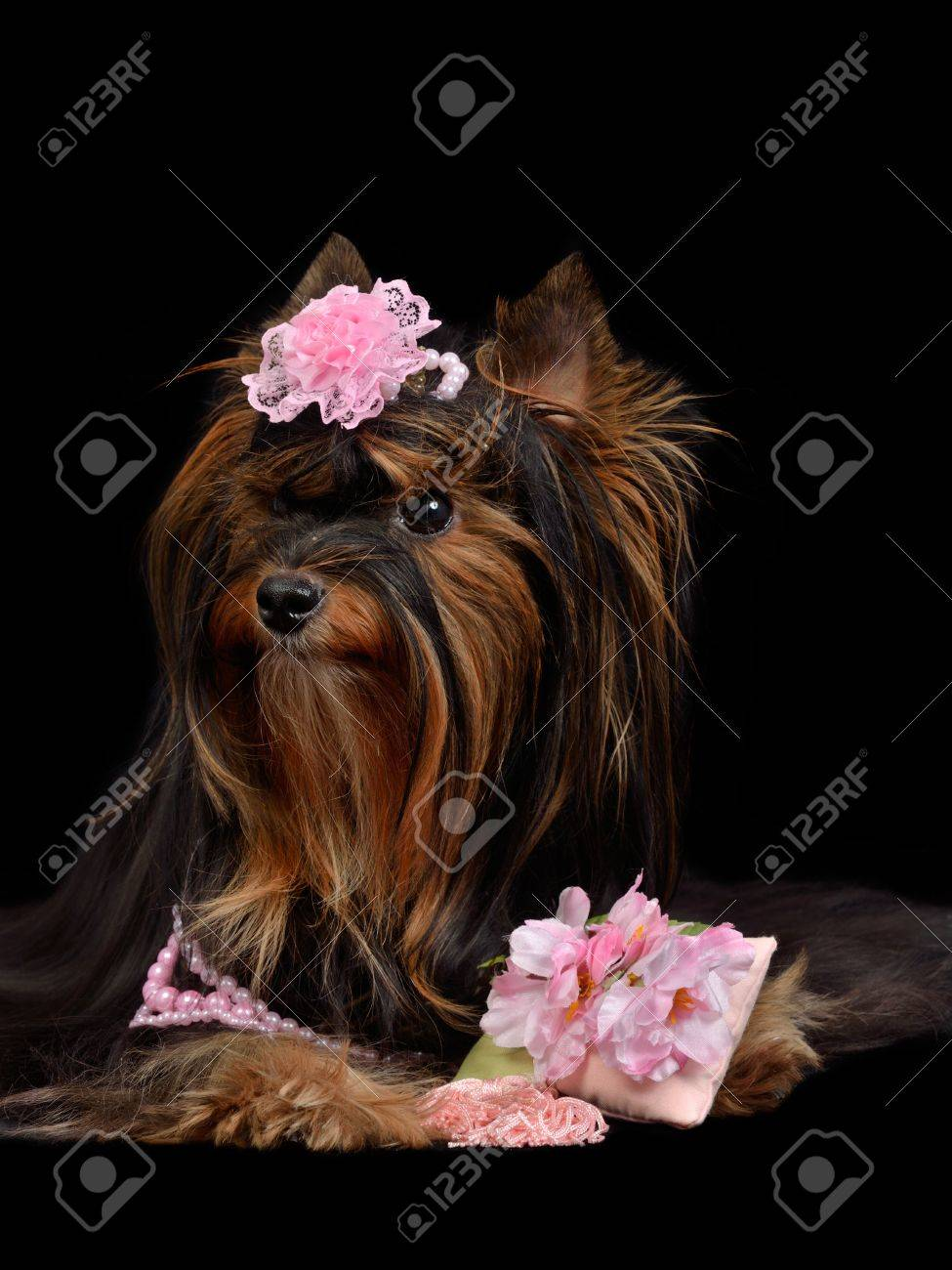 Glamour Yorkie Dog With Pink Items Isolated On Black Stock Photo