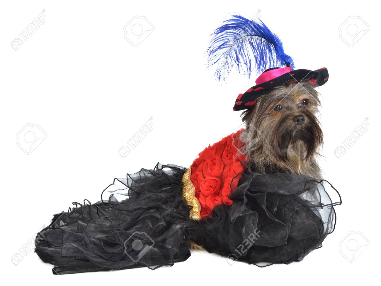 Dog with splendid dress and hat, isolated Stock Photo - 11520312